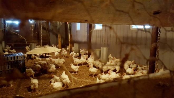 ferme-picardier-poulets